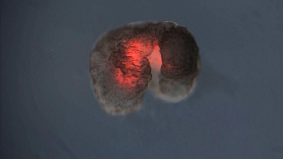 """개구리 세포로 만든 """"살아있는"""" 초소형 로봇개발"""